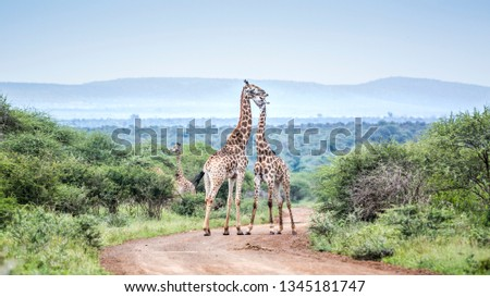 Giraffe couple meeting in scenery Kruger National park, South Africa ; Specie Giraffa camelopardalis family of Giraffidae #1345181747