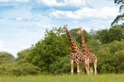 Giraffe couple outdoor wildlife.
