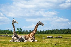 Giraffe couple sitting together in open grasslands on a cloudy day enjoying the day
