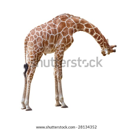 Giraffe curiosity pose isolated on white background