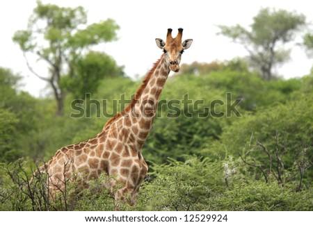 Giraffe curiously looking at camera while it graze in bush. Giraffa camelopardalis. Etosha National Park. Namibia