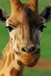 Giraffe Cute Face Close-up Image