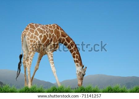 giraffe eat grass