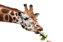 Giraffe eating green leaf out of human hand. White background.