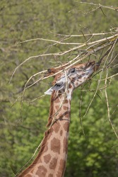 Giraffe eating leaves from a tree at East Berlin Zoo
