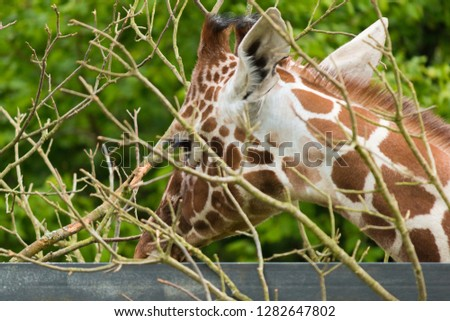 Giraffe Eating Leaves With Face Covered By Branches 1282647802