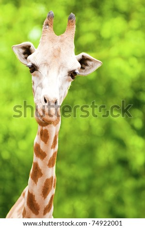 Giraffe eating twig, forest background