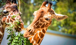 Giraffe eats leaves in zoo