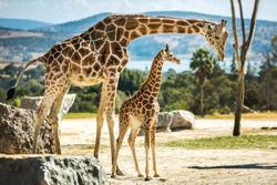 Giraffe family on a walk