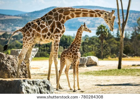 Giraffe family on a walk #780284308