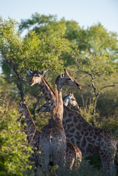 giraffe family with intertwined necks and heads spotted in the bush while on  African jeep safari on family holiday vacation in Etosha national Wildlife game preserve in Namibia Africa