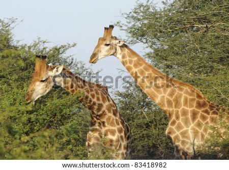 giraffe feeding on acacia thorn trees in the southern kruger national park, south africa
