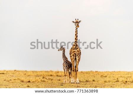Giraffe female and newborn standing close, touching. Mother looking straight ahead. Calf looking away across the African savannah landscape. Mother, baby. Copy space. Maasai Mara, Kenya.