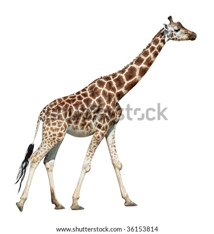 Giraffe female on move isolated on white background
