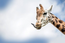 Giraffe gets her tongue out. Ruminant animal.