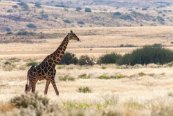 Giraffe (Giraffa camelopardalis). An African even-toed ungulate mammal, the tallest living terrestrial animal and the largest ruminant. Damaraland, Namibia, Africa.