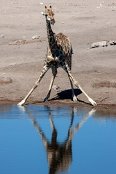 Giraffe (Giraffa camelopardalis) drinking at a waterhole in Etosha National Park in Namibia, Africa. An African artiodactyl mammal, the tallest living terrestrial animal and the largest ruminant.