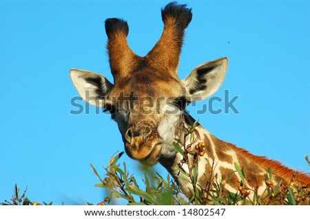 Giraffe (Giraffa camelopardalis) grazing in a game park in South Africa