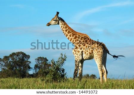 Giraffe (Giraffa camelopardalis) in a game park in South Africa