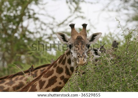 Giraffe (Giraffa camelopardalis) in Lake Manyara National Park, Tanzania