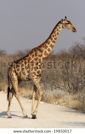 Giraffe (Giraffa camelopardalis) in the Etosha National Park, Namibia