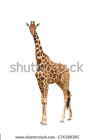 Giraffe (Giraffa camelopardalis), isolated on white background