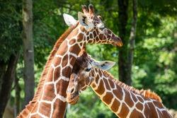 giraffe (Giraffa camelopardalis reticulata) animals together in summer nature