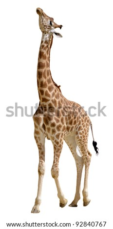 Giraffe (Giraffa camelopardalis) standing looking up, isolated on white background