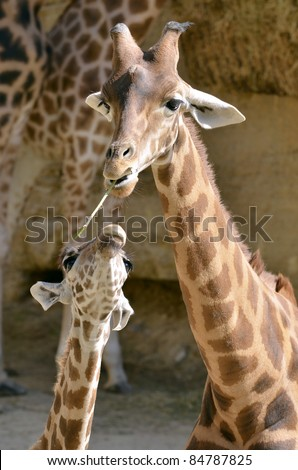 Giraffe (Giraffa camelopardalis) with a grass in mouth with its baby