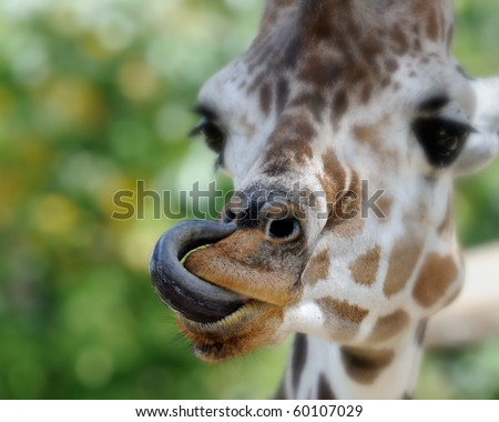 Giraffe (giraffa camelopardalis) with tongue in nose