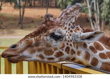 giraffe, giraffe in its habitat, giraffes in the field              #1404983108