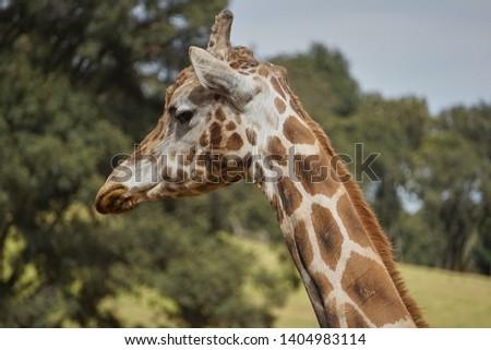 giraffe, giraffe in its habitat, giraffes in the field              #1404983114