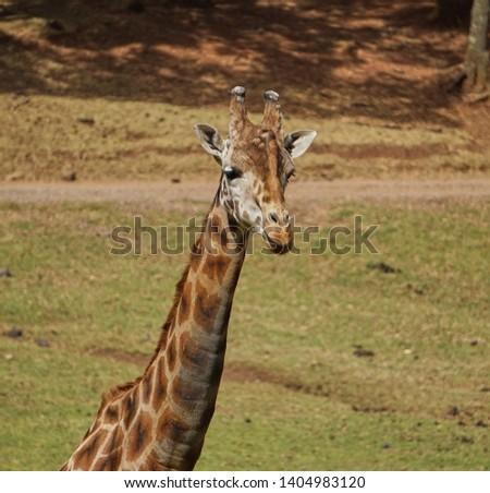 giraffe, giraffe in its habitat, giraffes in the field              #1404983120