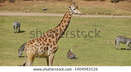 giraffe, giraffe in its habitat, giraffes in the field              #1404983126