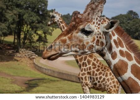 giraffe, giraffe in its habitat, giraffes in the field              #1404983129
