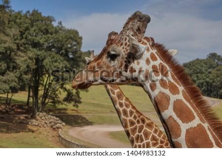 giraffe, giraffe in its habitat, giraffes in the field              #1404983132
