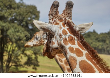 giraffe, giraffe in its habitat, giraffes in the field              #1404983141