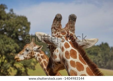 giraffe, giraffe in its habitat, giraffes in the field         #1404983144