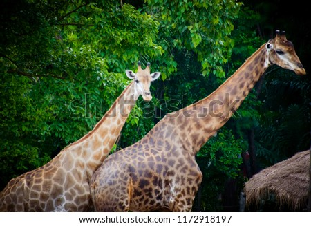 giraffe,giraffe standing in the park with green tree background. #1172918197