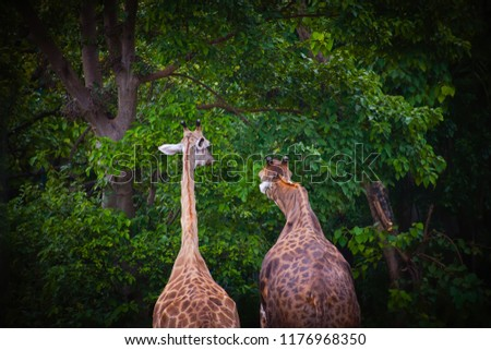 giraffe,giraffe standing in the park with green tree background. #1176968350