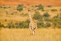 Giraffe, green vegetation with animal. Wildlife scene from nature, Pilanesberg NP, Africa. Green vegetation in Africa.