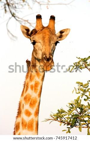 Giraffe Head #745917412