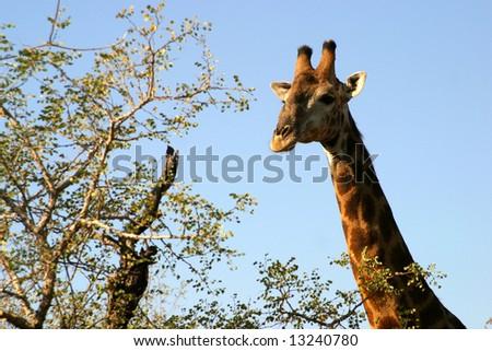 Giraffe head and neck in the Masai Mara Reserve (Kenya) on a white background - stock photo