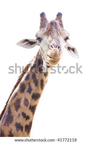 Giraffe head and neck isolated on white background look beautiful