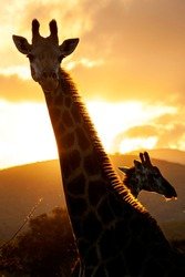 Giraffe, head and shoulders, sunset behind