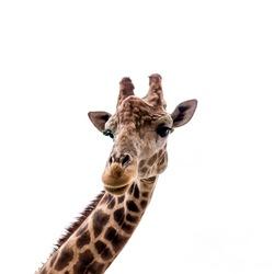 Giraffe head close up view from below
