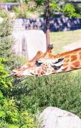 Giraffe head eating grass and enjoying in sunny day.