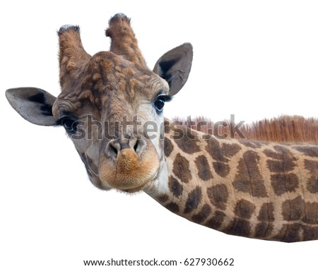 Giraffe head face isolated on white background #627930662