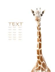 giraffe head isolated
