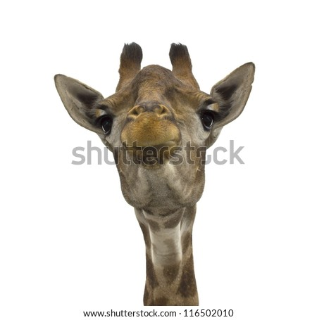 Giraffe (head) look directly on the isolated white background